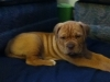 American Bull Dogue De Bordeaux, 7 weeks, fawn