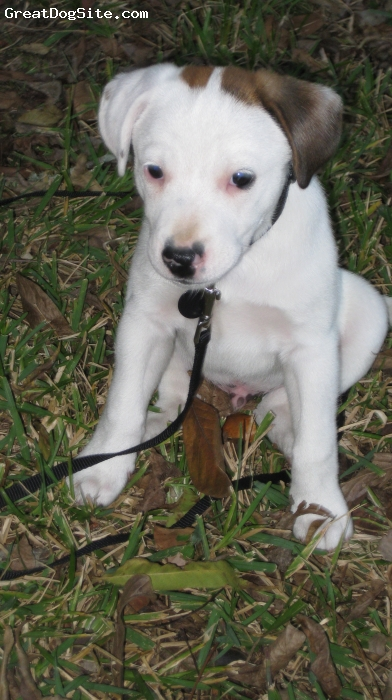 American Bull-Jack, 4 Months, White with brown/brindled spots, Indie at four months ...