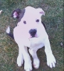 American Bulldog, 3 months, white and brindle