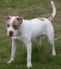 American Bulldog, 8months old, white,red brindle