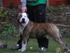 American Bulldog, 2 1/2, White and Tiger Brindle