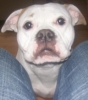 American Bulldog, Oct 2007, White