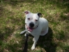American Bulldog, 1.5, White w/ black ear