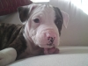 American Bulldog, 8 Months Old, Brindle with white patches