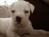 American Bulldog, 8 weeks, white