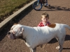 American Bulldog, 23 MONTHS, WHITE W/BRWN PATCHES