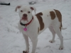 American Bulldog, 10 months, White with brindle patches