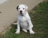 American Bulldog, 5 months, White with Brindle Spot