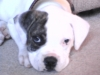 American Bulldog, 7 weeks, Blue Brindle