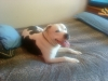 American Bulldog, 7 years, white/dark brwn brindle