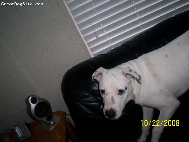 American Bulldog, 7 mon, white, Very nice, no aggression, very protective, beautiful, and very energetic. 