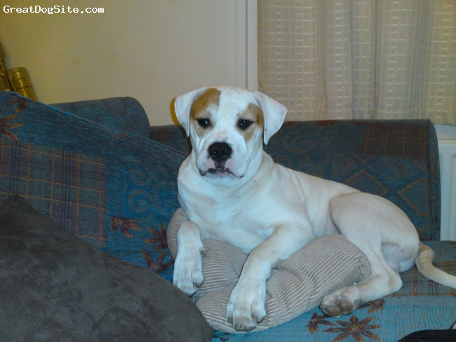 American Bulldog, 6 1/2 months, white, relaxing!