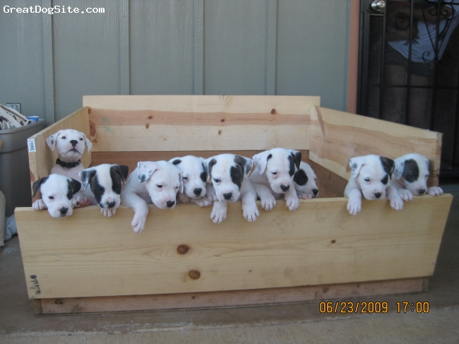 American Bulldog, Mom 3 years, pups, 6 wks, White with black heart shaped spot on her back, This is a picture of our new babies.