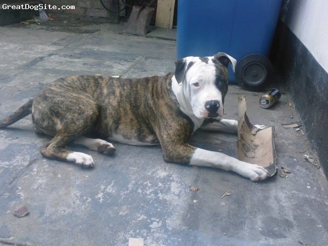 American Bulldog, 8 Months Old, Brindle with white patches, This is star 7 months old
