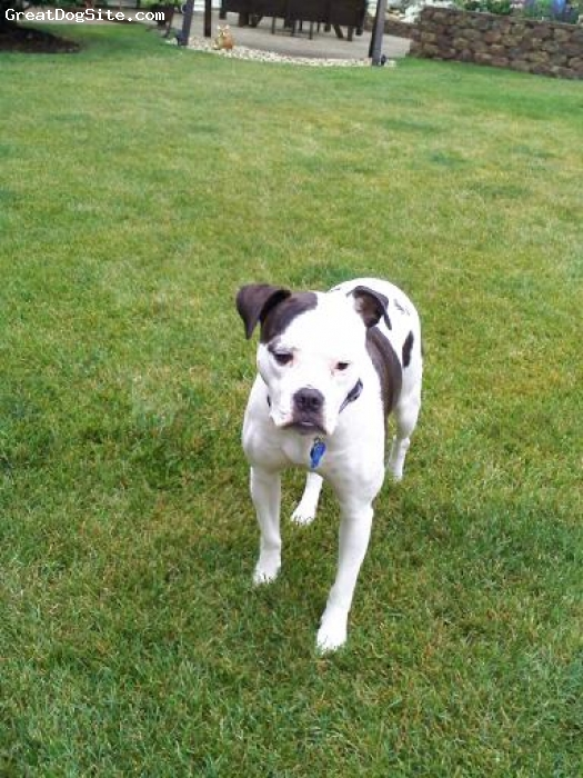 American Bulldog, 2 years, White with Brindle Coloring, Rosy is an obedient, alert, and great family dog.  She is a wonderful pet that loves children and is sensitive to older adlts.   She is alert and great fun to play with often theatrical and playful.
