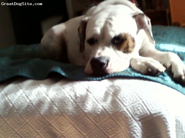 American Bulldog, 2 years, White, This one is the sweetest of all the doggies...