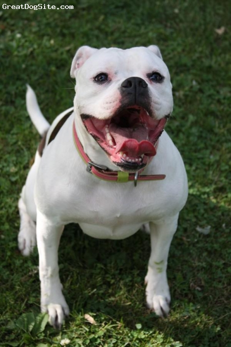 American Bulldog, 3, White w/ Brindle spots, Gracie is 3 yrs old and one awesome dog. She enjoys playing with her flying squirrel, cuddling with her family, playing soccer, and going on long walks or runs. She is an awesome family dog.