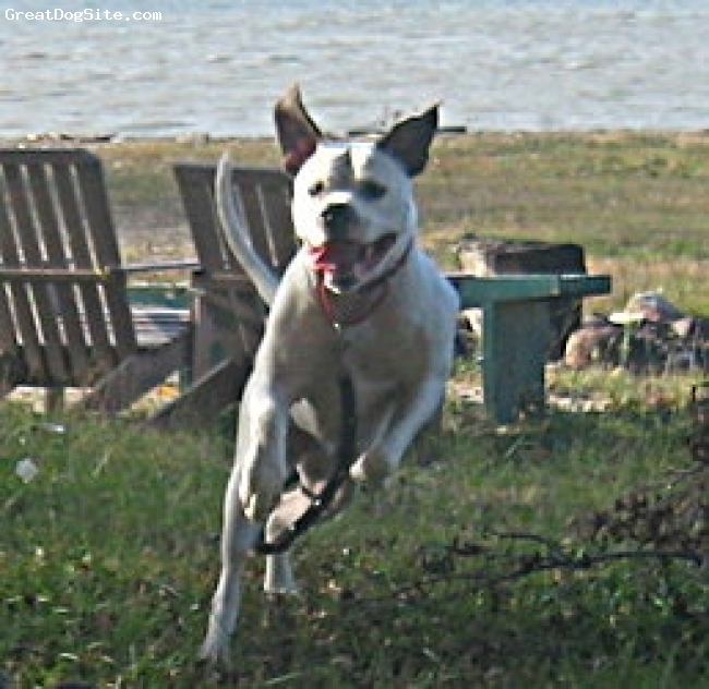American Bulldog, 4 years, white with brendel spot, Fun loving,