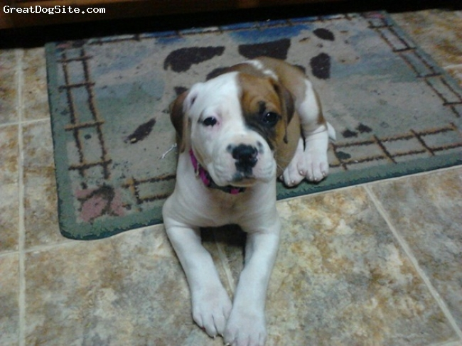 American Bulldog, 2 1/2 months, White/Brown, Bella is going to be big! She is growing so fast. She is very energetic & loving.
