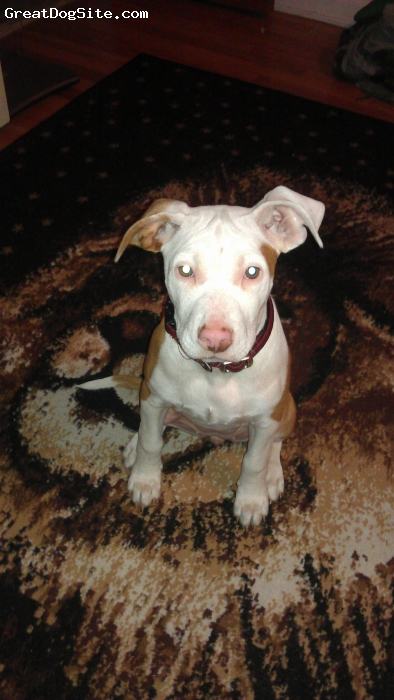 American Bulldog, 14 weeks, red and white, All around fun loving energetic  female puppy