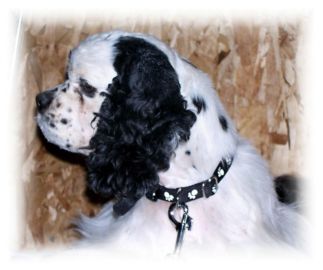 Cocker Spaniel, 3, Blk/wht Tri, Champion Tell-Tails Barrio Boy;  Son of CH Tell-Tails Razzberry Pie x CH Tell-Tails Lookin Hot