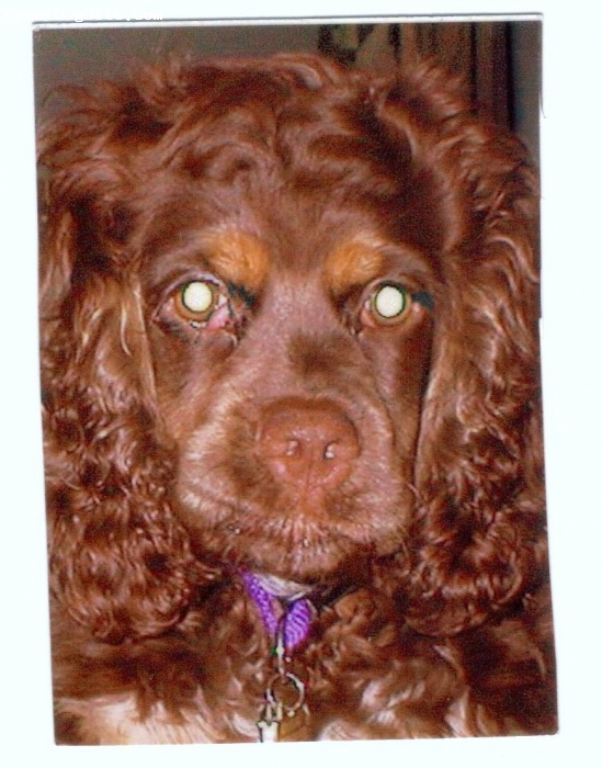 Cocker Spaniel, 3 Years, Chocolate, A wonderful friend,she has the ear infections,as well as the dry skin on her belly.We do treat it,something we know that these breeds have.