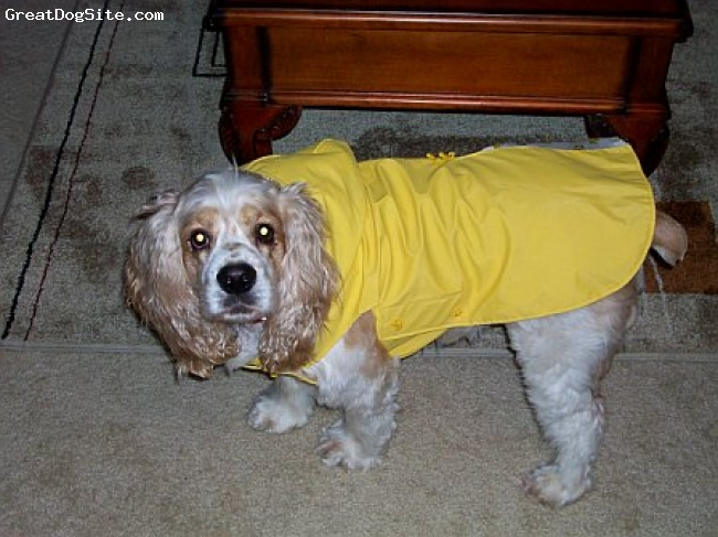 Cocker Spaniel, 3, Brown with white Spotting, My beautiful baby Tommy Wommy he hates his Pancho, but he hates the rain even more.
