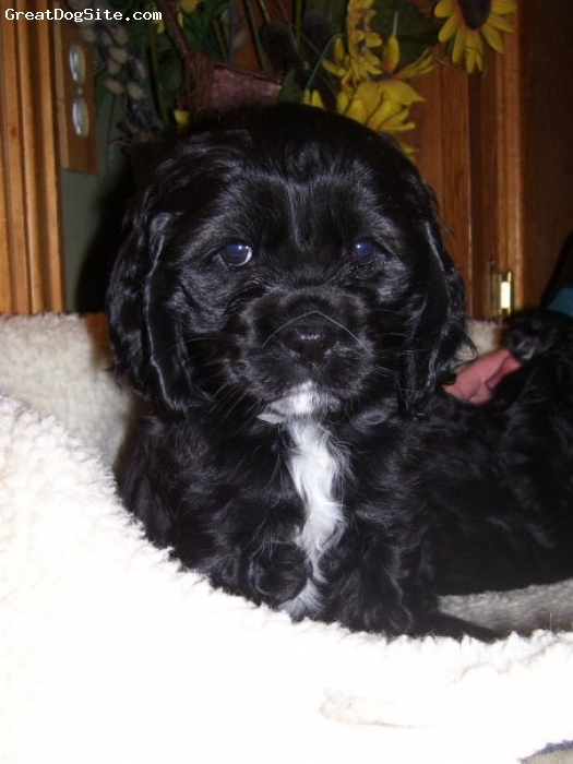 Cocker Spaniel, 6 wks, black, She's beautiful, cuddly, and SaUcEy.  lol