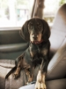 American Coonhound, 4 months, Black and Tan