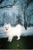 American Eskimo Dog, 7 yrs, white