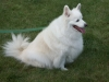 American Eskimo Dog, six years, white