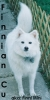 American Eskimo Dog, 2, white