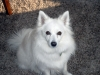American Eskimo Dog, 1 and 1/2 years old, White