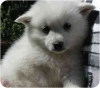 American Eskimo Dog, 8 weeks, white