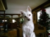American Eskimo Dog, 4 yrs, white