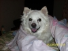 American Eskimo Dog, 8, White w/biscuit cream spots