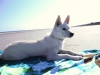 American Eskimo Dog, 6 mos, All White