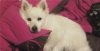 American Eskimo Dog, 3, white
