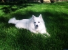American Eskimo Dog, 3 years, White