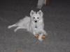 American Eskimo Dog, 1.8 years old, White
