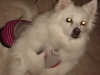 American Eskimo Dog, 10, White