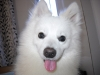 American Eskimo Dog, 3 &1/2 yrs Male, White with slight biscuit  fur in the back