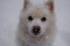 American Eskimo Dog, 15, White