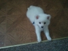 American Eskimo Dog, 7 weeks old, White