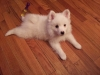 American Eskimo Dog, 8 weeks, Snow white