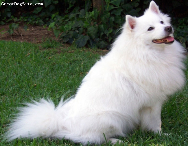 American Eskimo Dog, 2, white, loves to play