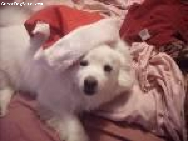 American Eskimo Dog, 4, white, this is my dog nico he is so nice to me and my family but he gets men but we love him to much  and this is my dog in my santa hat it took him a long time to get it lie this