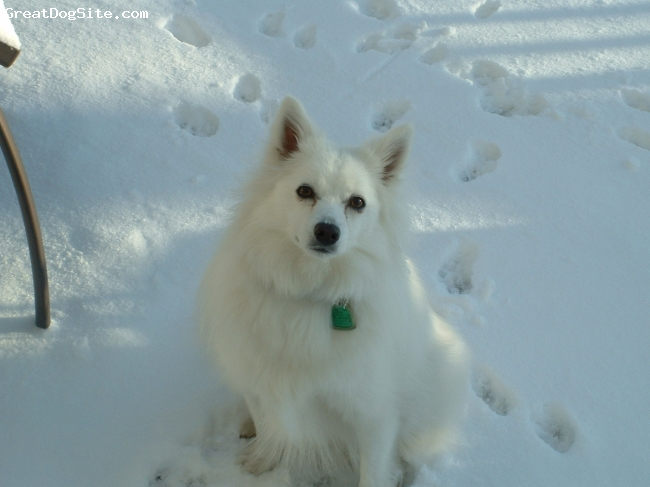 American Eskimo Dog, 1 and 1/2, White, She loves the snow and cold weather.