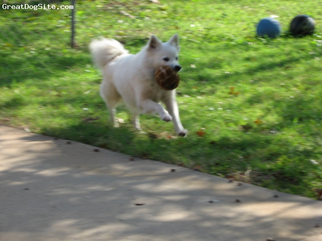 American Eskimo Dog, 6, White, Daisy loves to play ball.