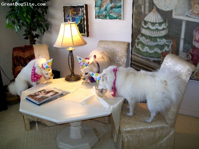 American Eskimo Dog, 2-4-4, whte, Eskies have a Birthday Party